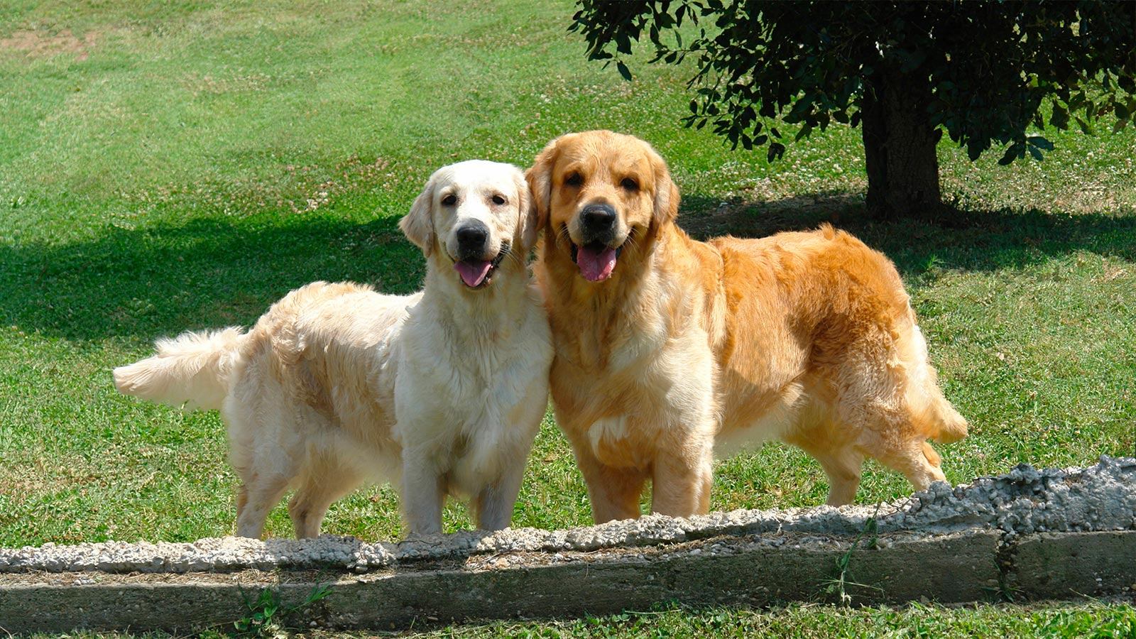 Due Golden Retriver su un prato verde nei pressi dell'Accademia Golden